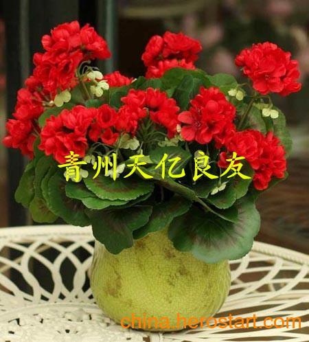 供应青州天竺葵批发基地|天竺葵种子批发|天竺葵花期/图片/价格