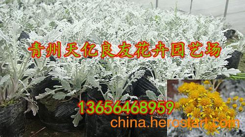 供应园林组摆用花银叶菊 潍坊细裂银叶菊价格 银叶菊花期