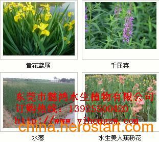 供应东莞中堂水生花卉,优选懿鸿植物品牌,值得信赖!