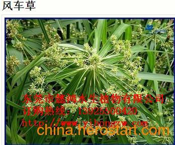 供应东莞高埗水生花卉,优选懿鸿植物品牌,值得信赖!