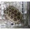 供应批发纯种【黄泽萨蛋龟】自然生长 包健康 好养