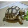 供应批发纯种【苏卡达陆龟】自然生长 包健康 好养
