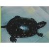 供应批发纯种【星点水龟】自然生长 包健康 好养