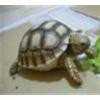 供应批发纯种【亚达陆龟】自然生长 包健康 好养