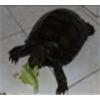 供应批发纯种【黑靴陆龟】自然生长 包健康 好养