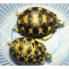 供应批发纯种【辐射陆龟】自然生长 包健康 好养
