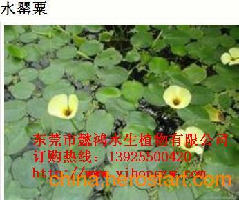 供应玉溪水生花卉,推荐懿鸿植物品牌
