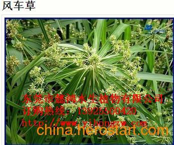 供应丽江水生花卉,推荐懿鸿植物品牌