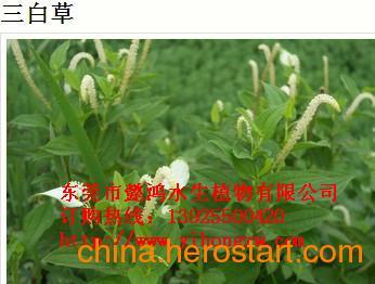 供应临沧水生花卉,推荐懿鸿植物品牌