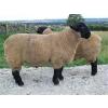 供应萨福克种羊价格实惠 品种优良 选应举循环农业
