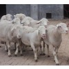 供应厂家介绍湖羊种羊养殖技术 应举循环农业