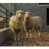 供应河南最好的无角陶塞特羊养殖场 应举循环农业