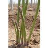 长期供应进口芦笋种子-阿波罗芦笋种子--达宝利芦笋种子