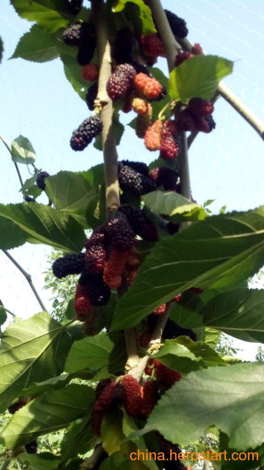 供应果桑树