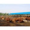 供应荷斯坦奶牛适应性能