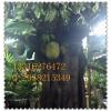 供应大型仿真菠萝蜜树假树 欢迎咨询定定制