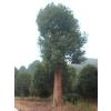 供应湖南移栽香樟30-60公分精品树