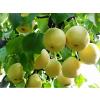 供应酥梨苗,梨树苗,红香酥梨,梨树,梨树价格,品种梨树,占地梨树