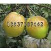 供应梨树新品种晚秋黄梨苗 富源玉露香梨树苗价格