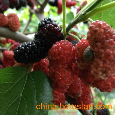 供应果桑树品种
