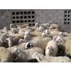 供应肉羊出栏了9元-10每斤