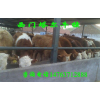 供应河南肉牛养殖场 西门塔尔牛如何育肥
