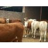 供应华北牲畜交易中心活牛市场