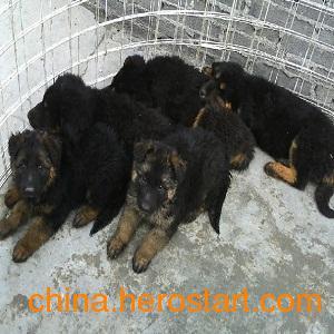供应最新肉狗价格 改良肉狗养殖市场前景好 永兴肉狗养殖
