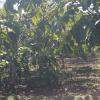 供应河北麻核桃基地|专业种植麻核桃树|