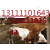 供应出售西门塔尔牛肉牛