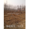 供应涞水麻核桃树出售,大量麻核桃树批发