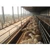 供应顺发湖羊---湖羊成品羊
