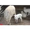 供应顺发湖羊---湖羊种养