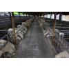 供应顺发湖羊---湖羊养殖
