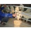 供应顺发湖羊---湖羊羊羔
