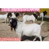 供应波尔山羊孕羊的价格