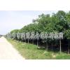 供应大叶女贞、白腊等绿化苗木 同盟花卉苗木种植基地