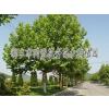 供应城市河道、道路景观绿化苗木、草坪 同盟花卉最专业