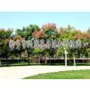 供应小区绿化、大型公园绿化苗木、草坪 同盟花卉苗木种植园