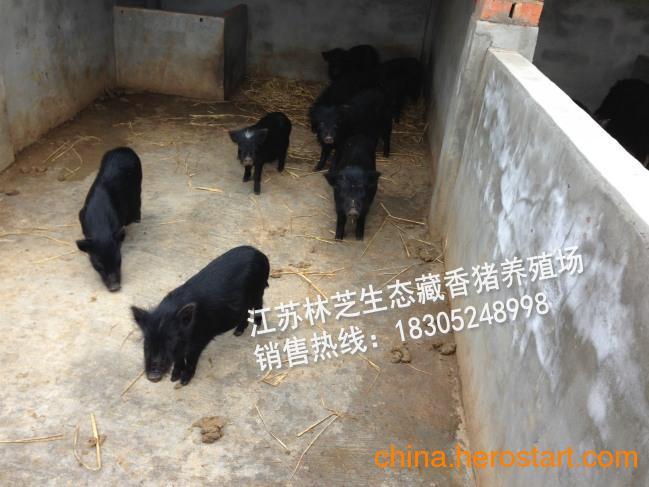 供应藏香猪种猪价格