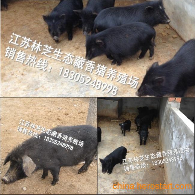 供应藏香猪多少钱一斤