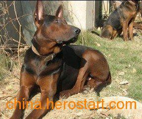 供应肉狗养殖过程中肉狗苗得了肠炎怎么办
