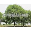 供应河南新乡绿化苗木、园林绿化工程 同盟花卉绿化公司