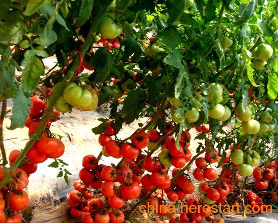 大量供应优质番茄苗