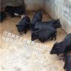 供应藏香猪养殖技术