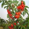 【山东大樱桃苗木】生长发育对环境的要求