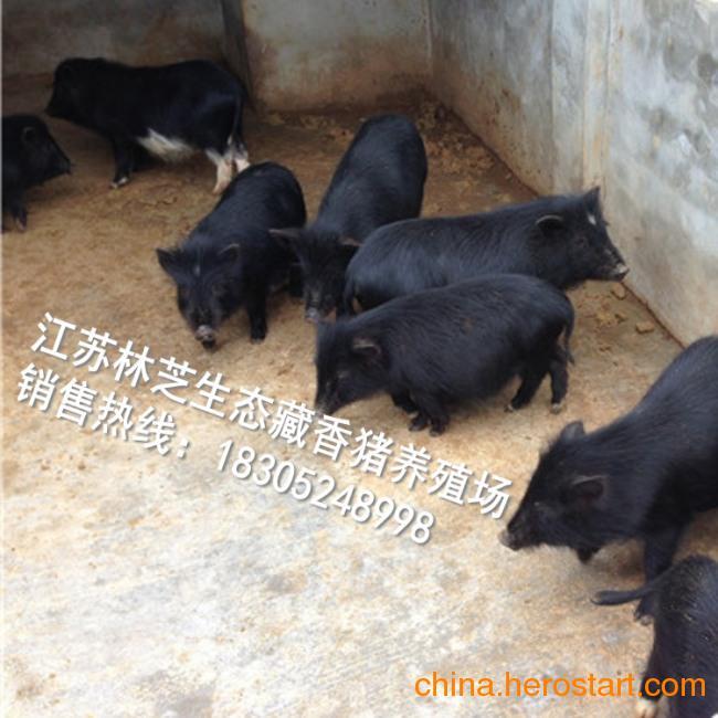 供应藏香猪价格
