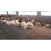 供应专业小羊羔养殖厂家 小羊羔养殖厂家 小羊羔养殖批发 环宇牧业