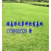 供应湖南马尼拉草坪/马尼拉草坪价格
