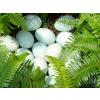 供应品牌绿壳鸡蛋,上海 土鸡蛋,散养土鸡蛋